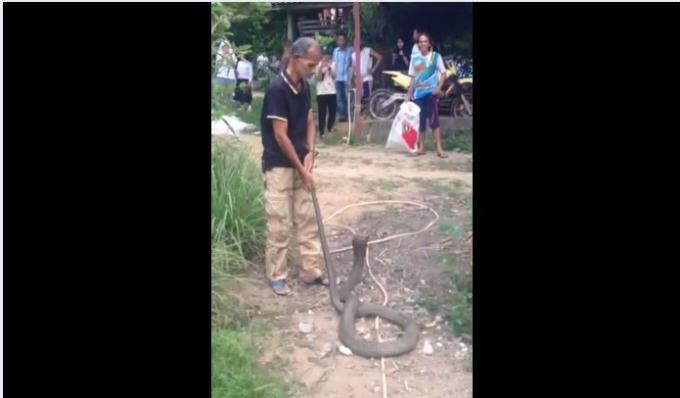 Un cobra royal de 3 mètres de long capturé dans un village de Phuket