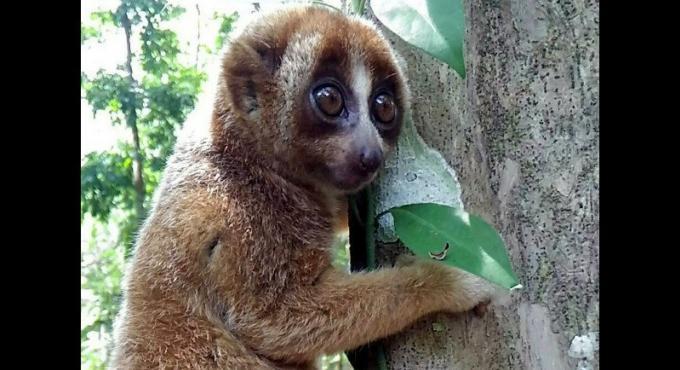 Des experts de la faune craignent pour l'avenir des loris à cause du développement de l'ile