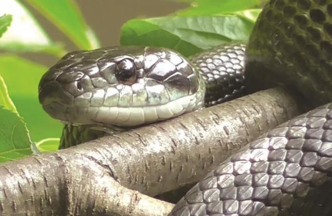 tous les serpents ne sont pas actualit phuket 3391. Black Bedroom Furniture Sets. Home Design Ideas