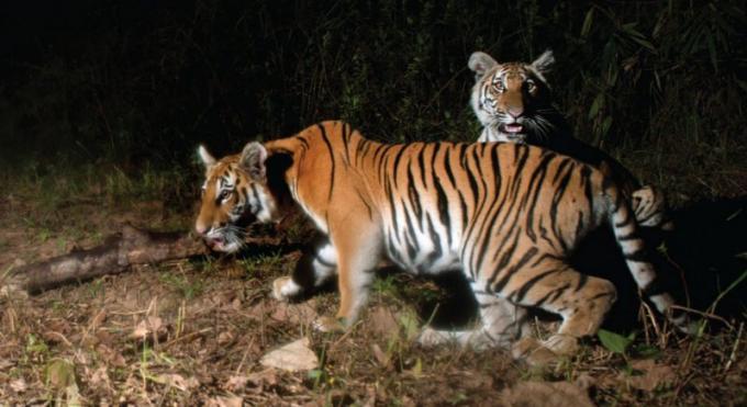 Une nouvelle étude confirme que la Thaïlande abrite une rare population de tigres