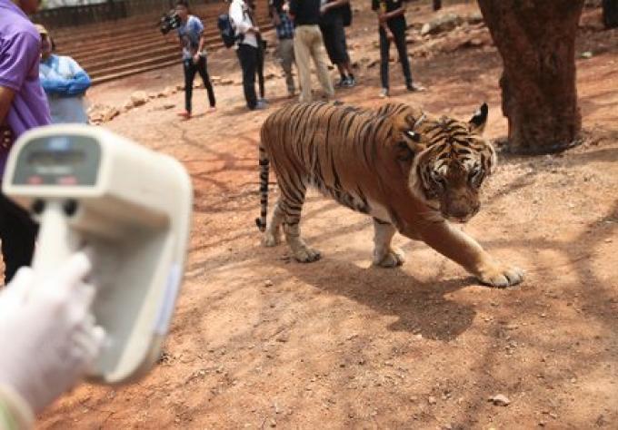 Les tigres du temple peuvent rester pour le moment