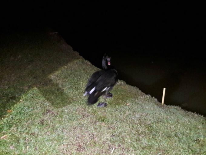 Le cygne noir retrouve son propriétaire