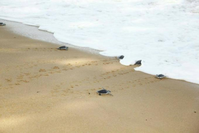 Le bureau du médiateur de Phuket relâche des tortues pour célébrer la Journée Mondiale des Tort