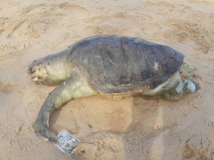 Une tortue morte tuée par une hélice de bateau retrouvée sur Surin Beach