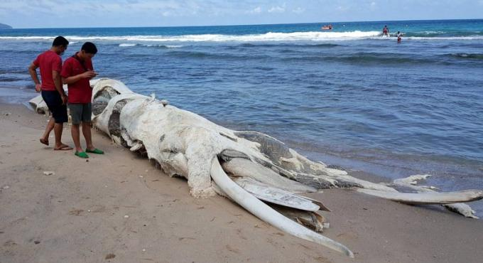 Une carcasse de baleine s'échoue sur une plage de Phuket
