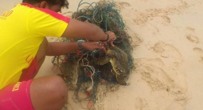 Les sauveteurs libèrent d'une tortue de mer piégée dans un filet de pêche