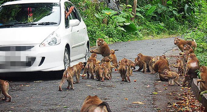 Un homme attaqué par des singes a Phuket Town
