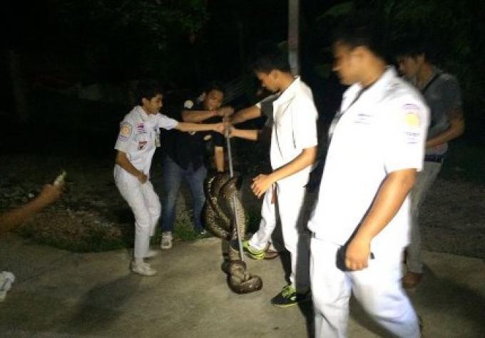 Un Python a été mis dans un sac, après avoir bloqué le passage de la route près de l'école pop