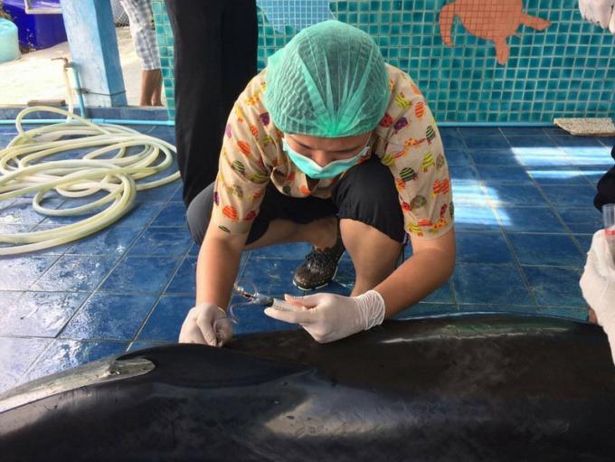 Le dauphin échoué sur une plage est finalement mort, probablement a cause de filets de pêche