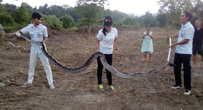 Une équipe de secouristes capture un python de 5 mètres et 80 kg