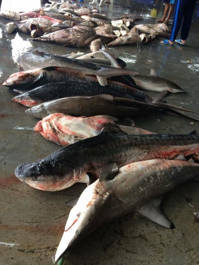 Après la 'frénésie' de la morsure, Phuket doit mieux protéger les requins