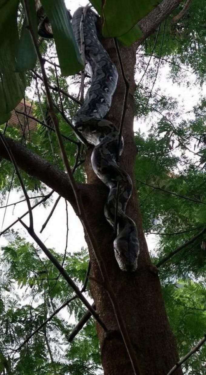 Un python de 4 mètres capturé par la municipalité de Phuket Town