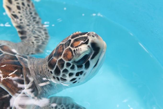 Disparus : le développement touristique détruit les sites de ponte des tortues de Phuket
