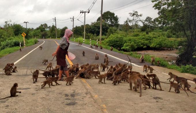 Des centaines de singes de Krabi 'mendient et volent' de la nourriture dans les rues