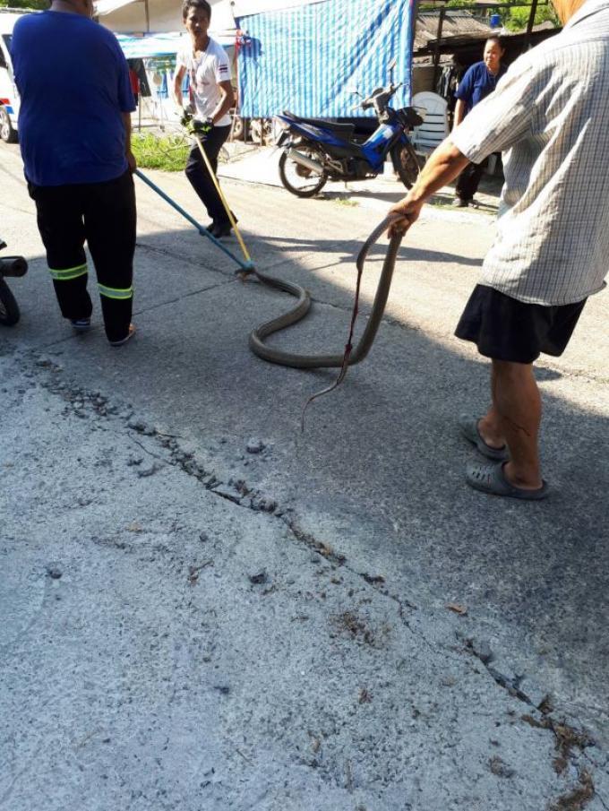Un cobra royal de 4 mètres capturé, un deuxième s'échappe