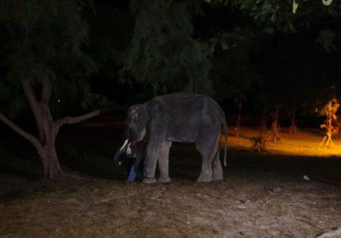 Un homme thaïlandais meurt après avoir été transpercé par les défenses d'un éléphant