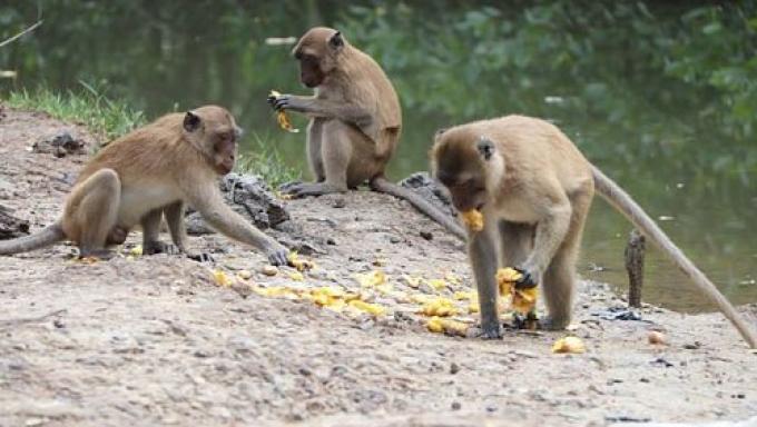 Les singes attendent l'approbation d'un budget de B3 millions pour être stérilisés ou déplac
