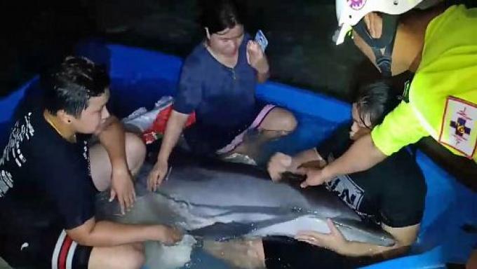 Un dauphin secouru à Kamala Beach