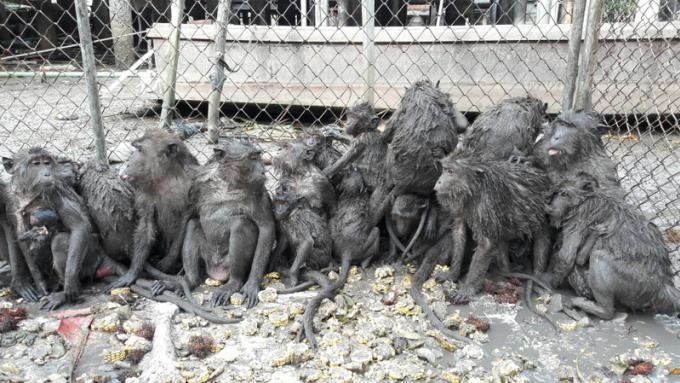 34 singes capturés lors du premier jour de campagne
