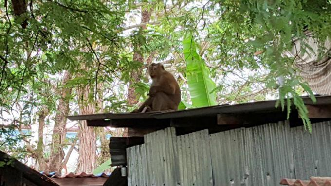 Inquiétudes, les singes sauvages de Phuket pénètrent dans les habitations pour voler de la nourri
