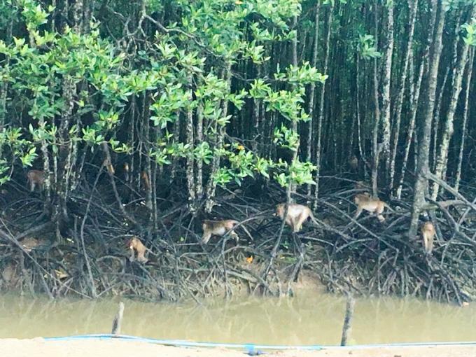 Les premiers singes stérilisés relâchés