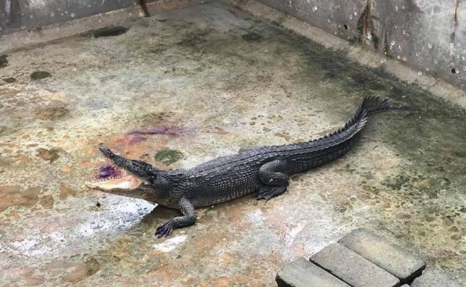'Yanui' serait un crocodile d'une race batârde