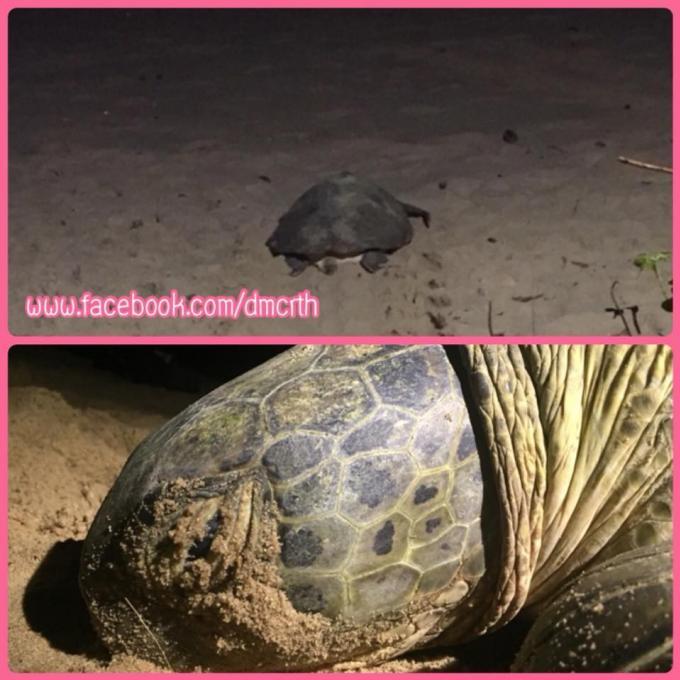 Une tortue pond à Nai Thon Beach, 10 ans après