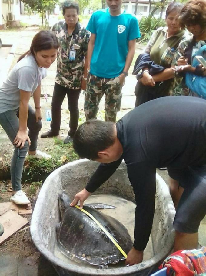 Quatre tortues vivantes et une morte s'échouent sur une plage de Phuket