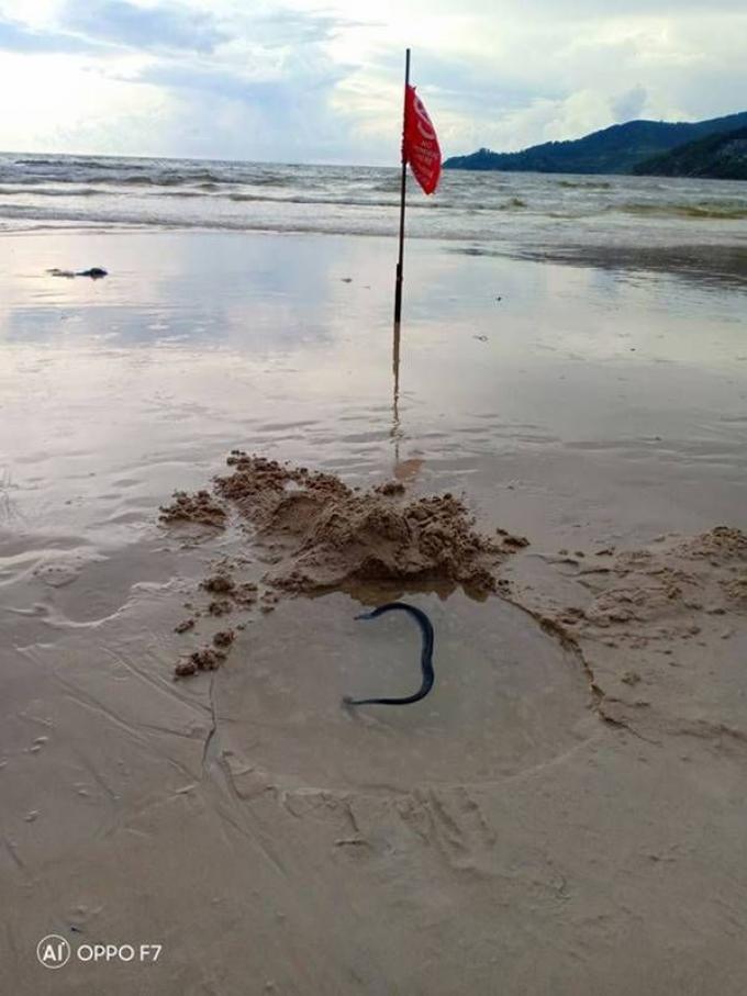 Un serpent de mer blessé retrouvé sur Patong Beach