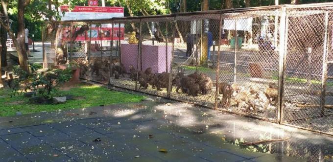 129 singes capturés pour être stérilisés