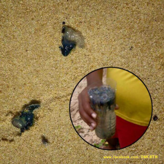 Les Bluebottles envahissent les plages de Phuket