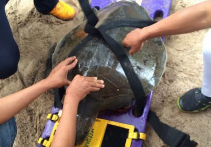 Une tortue de mer blessée, sauvé sur la plage de Phuket