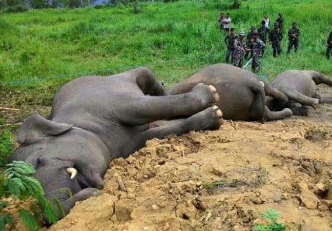 3 éléphants sauvages morts mystérieusement près de Hua-Hin