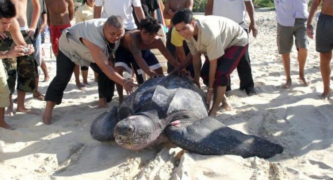 Les tortues luth en voie d'extinction