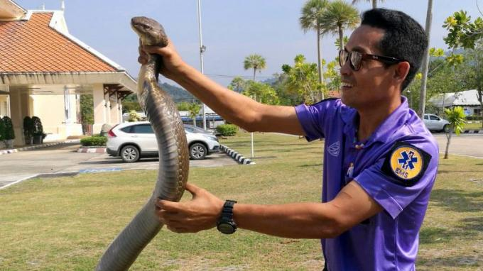 Un secouriste capture un cobra royal géant à mains nues - Vidéo