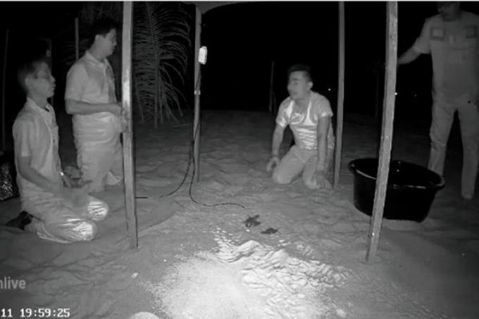 49 bébés tortue luth éclosent à Phang Nga – Vidéo
