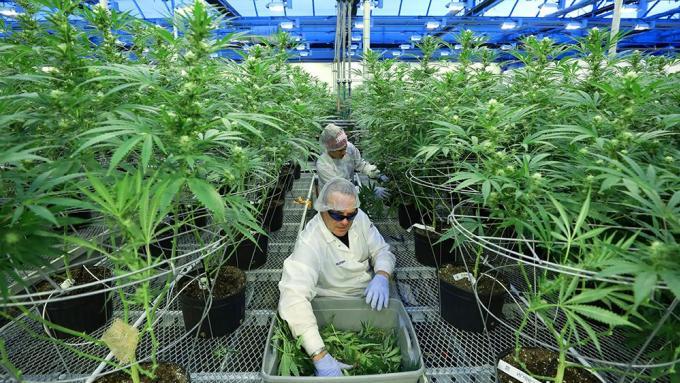 La légalisation de la marijuana thérapeutique est maintenant effective
