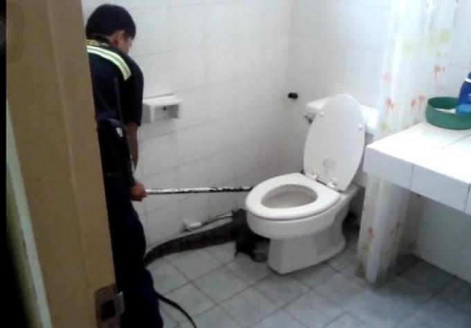 Un varan de 20 kg se faufile dans une maison de Phuket