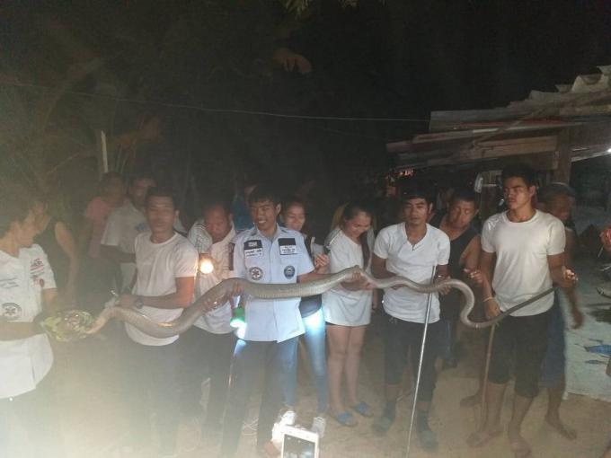 Un cobra royal de cinq mètres capturé à Kathu