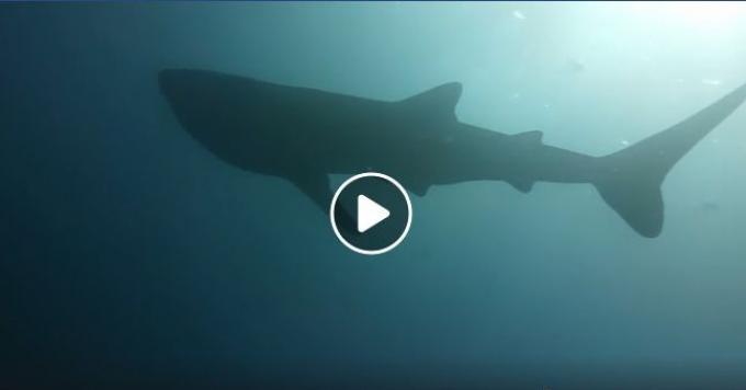 Un requin baleine aperçu au large de Phang Nga - Vidéo