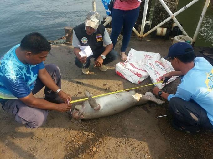 Un lamantin mort s'échoue sur une plage de Trang