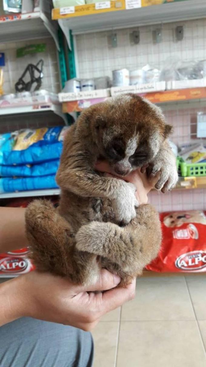 Un bébé lémurien et un loris secourus