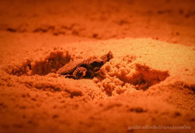 68 tortues éclosent sur une plage de Phang Nga
