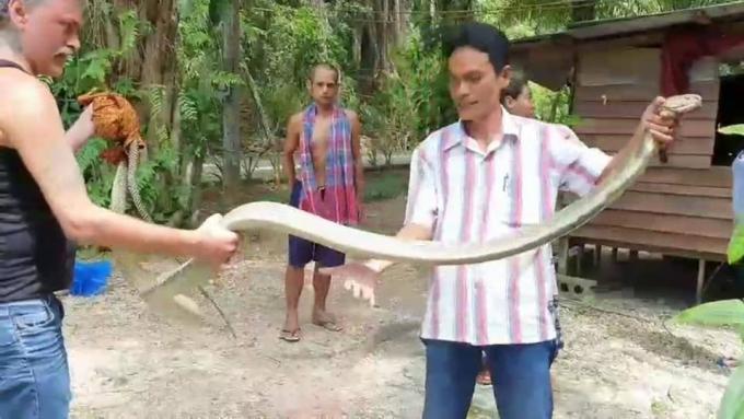 Un thaï et un farang attrapent un cobra royal à mains nues – Vidéo