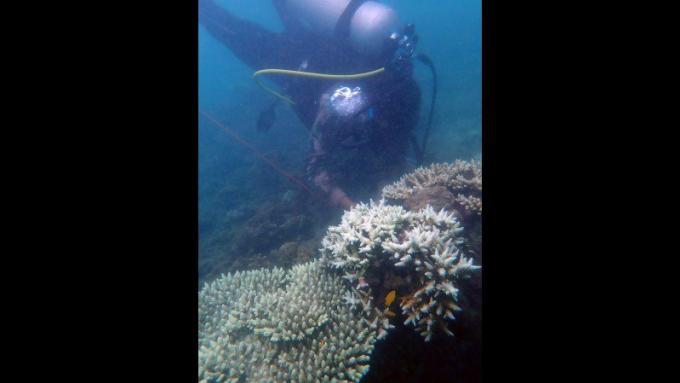 Près de la moitié des coraux de Nai Yang sont endommagés ou morts