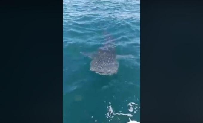 Un requin baleine aperçu au large de Koh Racha – Vidéo