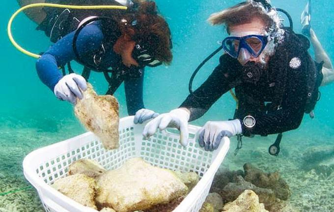 Des milliers de jeunes coraux déplacés dans des eaux plus profondes de Maya Bay