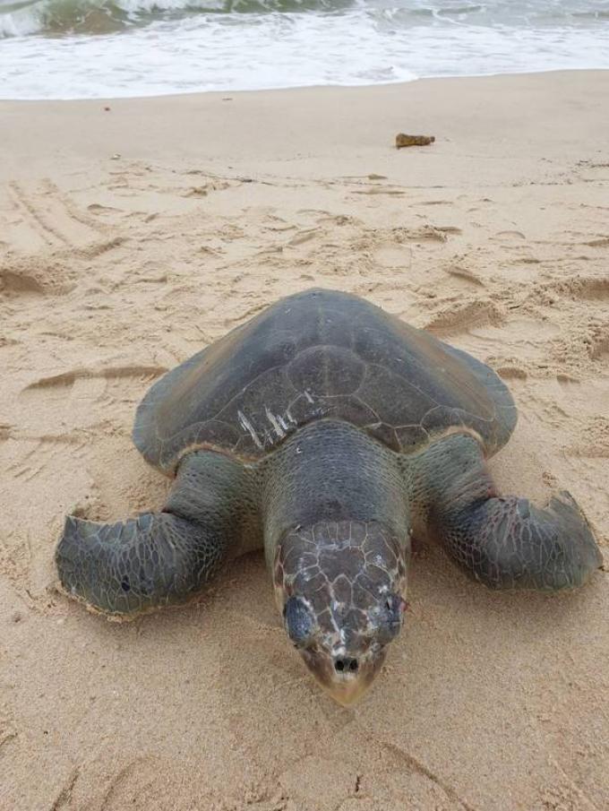 Une tortue de mer retrouvé morte à Bang Tao Beach