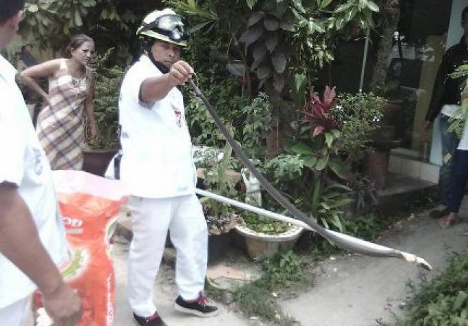 Un cobra se glisse dans une cuisine à Phuket