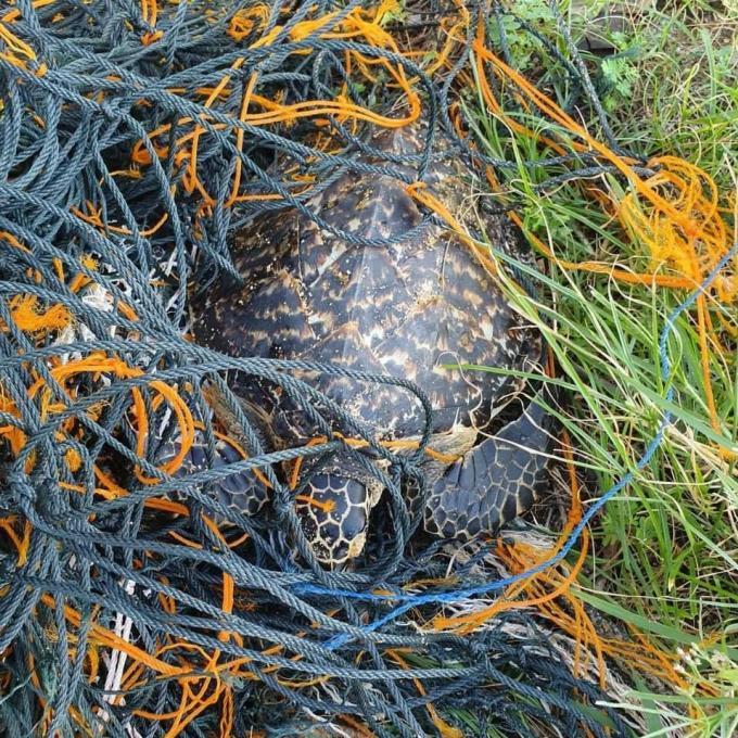 Une tortue sauvée d'un filet  de pêche